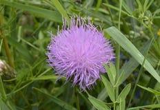 Dziki śródpolny kwiat w trawie step Transbaikalia Fotografia Royalty Free