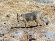 Dziki śródpolny lis Fotografia Stock