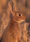 dziki raźny wysoki królik Zdjęcia Royalty Free