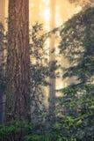 Dziki Redwood las Obraz Royalty Free