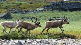 Dziki reniferowy bieg, Kungsleden wycieczkuje ślad, Szwecja Zdjęcie Stock