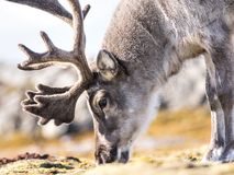 Dziki reniferowy portret - Arktyczny, Svalbard Obraz Royalty Free