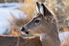 Dziki rogacz na Wysokich równinach Kolorado fotografia royalty free