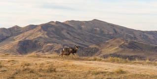 Dziki rogacz w wysokiej pustyni zdjęcie royalty free