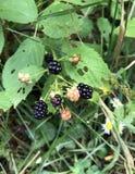 Dziki Rubus Genus, czernicy na krzaku lub Fotografia Stock