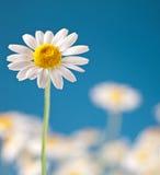 dziki rumianku błękitny niebo Fotografia Stock