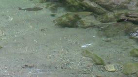 Dziki rzeczny pstrągowy Salmo trutta fario dopłynięcie w strumieniu przy austriackimi alps w Tirol zbiory wideo