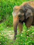 Dziki słoń Zdjęcia Royalty Free