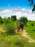 Dziki słoń Obraz Royalty Free