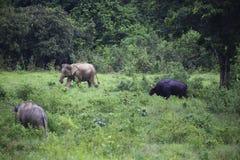 Dziki słoń i byk w lesie przy parkiem narodowym Obrazy Stock