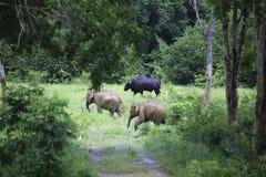 Dziki słoń i byk w lesie przy parkiem narodowym Zdjęcie Stock