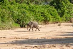 Dziki słoń przychodzący napój w Afryka w obywatela Kruger parku w UAR Obraz Stock