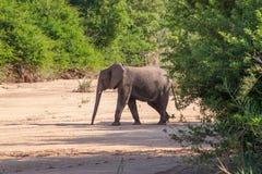 Dziki słoń przychodzący napój w Afryka w obywatela Kruger parku w UAR Fotografia Stock