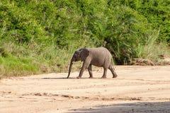Dziki słoń przychodzący napój w Afryka w obywatela Kruger parku w UAR Zdjęcie Royalty Free