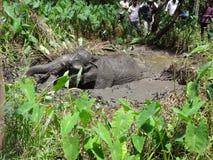 Dziki słoń spadać błoto fotografia stock