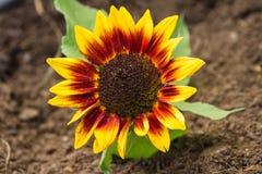 Dziki słonecznik Obraz Stock