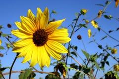 Dziki słonecznik Obraz Royalty Free