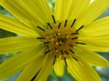 Dziki słonecznik Obrazy Stock
