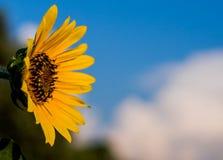 Dziki słonecznik Fotografia Royalty Free
