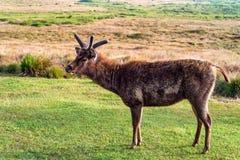 Dziki sambar rogacz, Cervus unicolor lub Fotografia Royalty Free