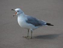 Dziki Seagull zdjęcia royalty free