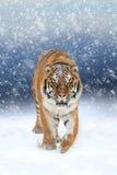 Dziki siberian tygrys Zdjęcia Royalty Free