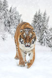 Dziki siberian tygrys Fotografia Stock