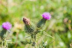 Dziki silymarin kwiat Główny składnik wątrobowi leki Obrazy Stock