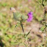 Dziki silymarin kwiat Główny składnik wątrobowi leki Zdjęcie Royalty Free