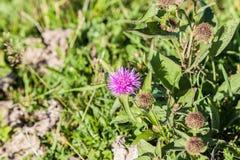 Dziki silymarin kwiat Główny składnik wątrobowi leki Zdjęcia Royalty Free