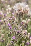 Dziki silymarin kwiat Główny składnik wątrobowi leki Obraz Stock