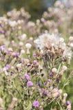 Dziki silymarin kwiat Główny składnik wątrobowi leki Fotografia Royalty Free