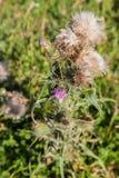 Dziki silymarin kwiat Główny składnik wątrobowi leki Zdjęcie Stock
