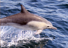 Dziki skrót Beaked nieletni Pospolity delfin Obraz Stock