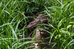 Dziki Spectacled Caiman Wygrzewać się Obraz Royalty Free