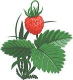 Dziki Srtawberry Zdjęcia Stock