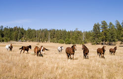 dziki stado koń Zdjęcia Stock