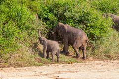 Dziki stado słonie przychodzący napój w Afryka w obywatela Kruger parku w UAR Obrazy Royalty Free