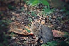 Dziki szary kot zdjęcia stock