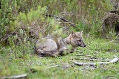 Dziki szary lis na trawie Obrazy Royalty Free