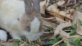 Dziki Tajlandzki domowy królik w naturze zbiory wideo