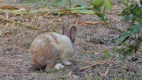 Dziki Tajlandzki domowy królik w naturze zbiory