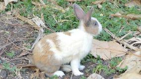 Dziki Tajlandzki domowy królik w naturze zdjęcie wideo
