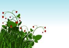 Dziki truskawkowy krzak Zdjęcia Royalty Free