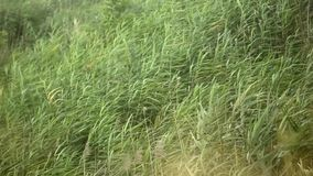 Dziki trzcinowy chodzenie z wiatrem od morza zbiory wideo