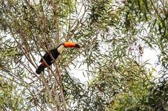 Dziki Tucano ptak na gałąź Fotografia Stock