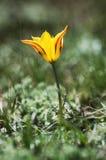 Dziki tulipan Obrazy Stock