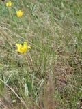 Dziki tulipanu Schrenk także Tulipa gesneriana lub Didier ` s tulipan lub Zdjęcie Stock