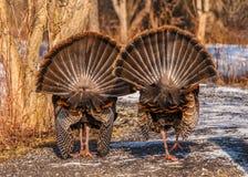 Dziki Turcja (Meleagris gallopavo) Obraz Royalty Free