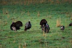 Dziki Turkies w wiośnie Obraz Stock